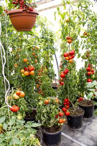 Tomatenpflanzen in Kübeln