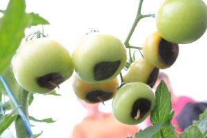 Bluetenendfäule Fäule Tomatenfrüchte