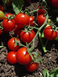 Die rote Farbe der Tomate dient dem Selbstschutz und der Signalwirkung.