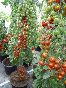 Cherry Tomate