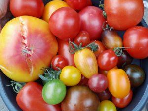 Farben Vielfalt Tomate