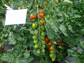 tomaten anbauen ratgeber zum auspflanzen von tomaten. Black Bedroom Furniture Sets. Home Design Ideas