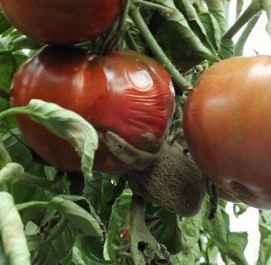 Grauschimmelbefall an geplatzter Tomate
