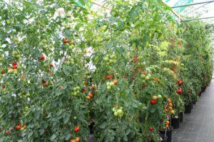 Stabtomatenpflanzen mit Früchten