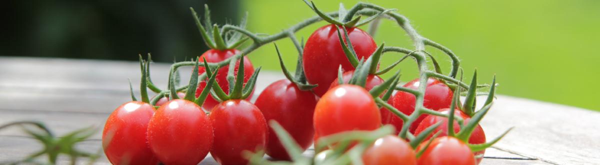 Tomaten Im Kübel Oder Beet Kultivieren Tipps