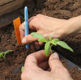 Tomaten pikieren Anleitung Teil 2