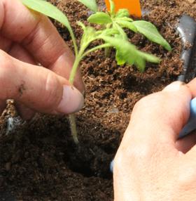 Beim Einpflanzen von Tomaten gibt es einiges zu beachten, zum Beispiel dass die Blätter den Boden nicht berühren sollten.