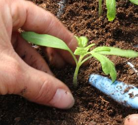 Einpflanzen eines Tomatensetzlings