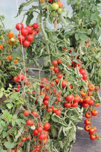 Tomaten züchten kultivieren