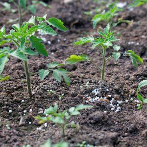 Tomatenanbau Tomatenzucht