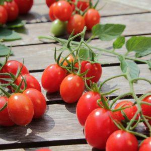 Tomatenblätter Tomatenfrüchte