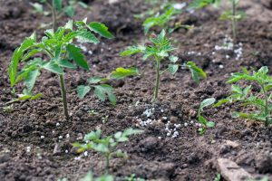 Tomatendünger Produkte Tomatenanbau