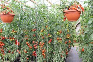 Tomatengewächshaus Gewächshaus Tomaten