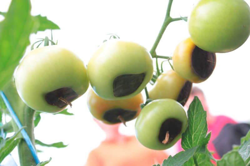 tomaten d ngen leicht gemacht infos und tipps vom profi. Black Bedroom Furniture Sets. Home Design Ideas
