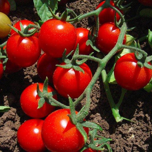 Gute Bodenbeschaffenheit für den Anbau von Tomaten