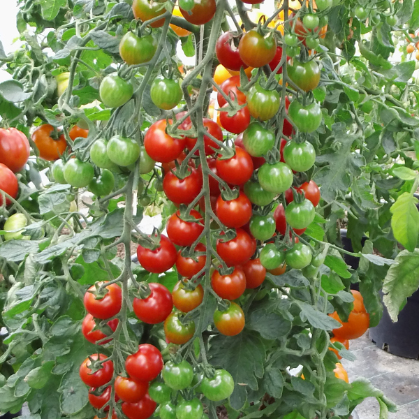 tomate 39 cherrola 39 cherrytomate mit langen rispen. Black Bedroom Furniture Sets. Home Design Ideas