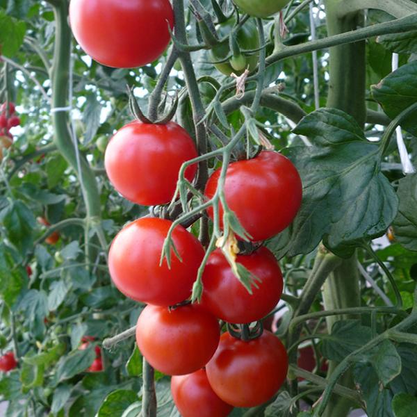 Tomate 'Nectar'