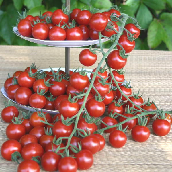 tomate 39 philovita 39 schmackhafte robuste cherrytomate. Black Bedroom Furniture Sets. Home Design Ideas