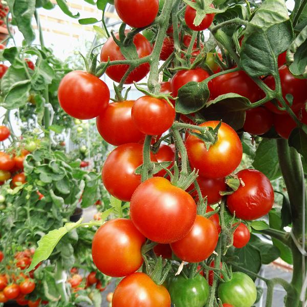 Tomatensorten Infos Zu Der Vielfalt Der Tomate