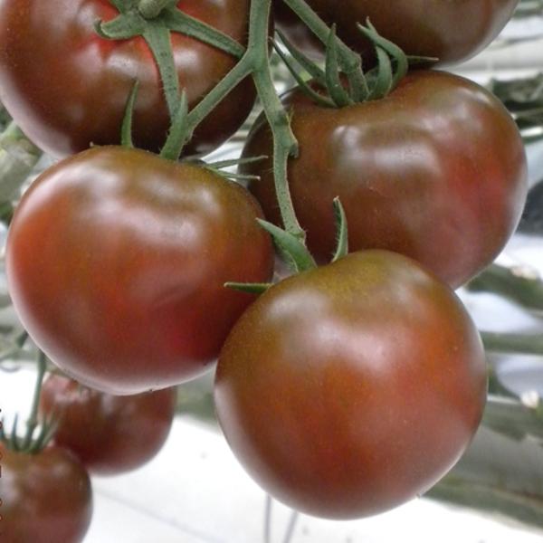 Tomate 'Sacher'