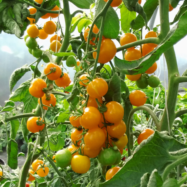 Tomate ''Sungold''