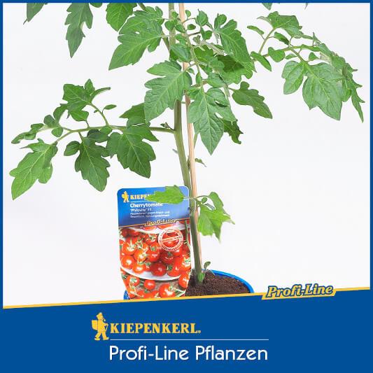 Cherrytomate 'Philovita' (Jungpflanze)
