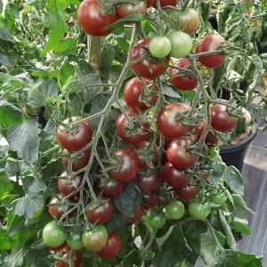 Tomate ''Black Cherry''