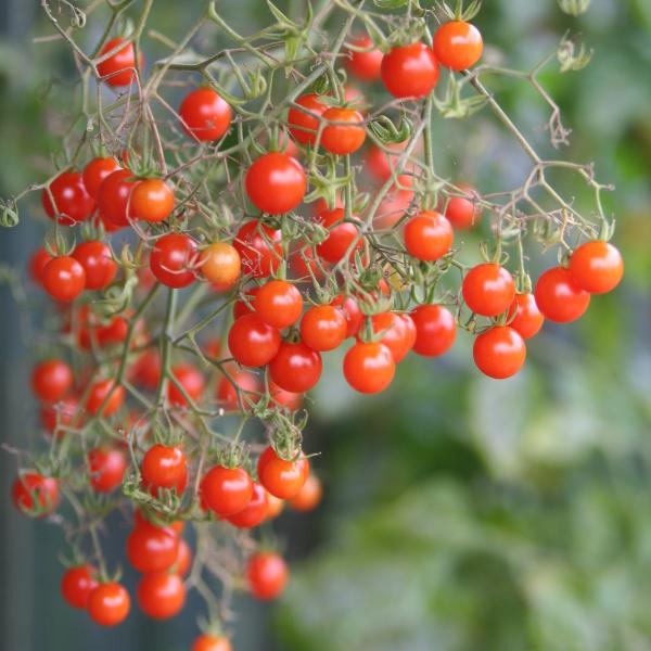 Tomate ''Rote Johannisbeertomate''