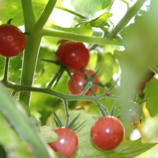 Wildtomate 'Rote Murmel'