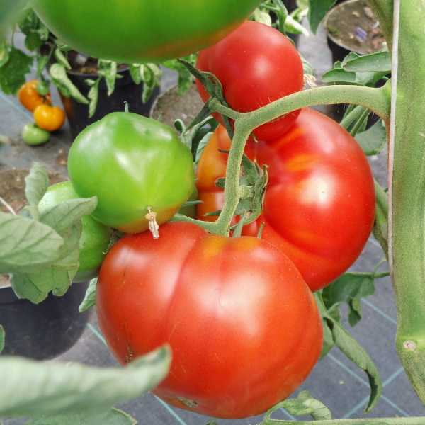 Tomate ''Saint Pierre''