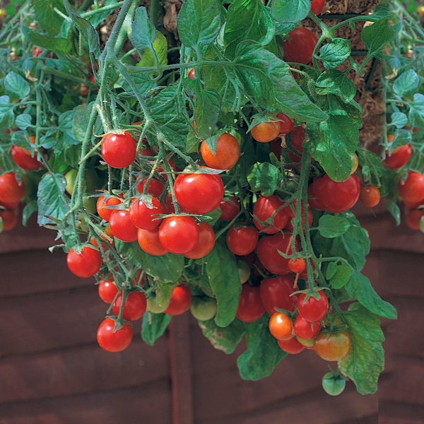 Tomate 'Tumbling Tom Red'