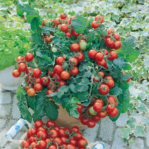 Auch kleine Tomatensorten wie 'Vilma' überstehen den Winter im Topf nicht.