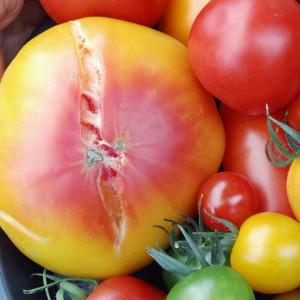 Je nach Form der Risse gibt es andere Ursachen, warum die Tomate geplatzt ist.