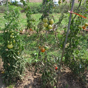 Tomate 'Harzfeuer' mit Phytophthora-Befall