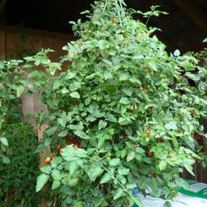 Tomate 'Romello' in einer Blumenampel