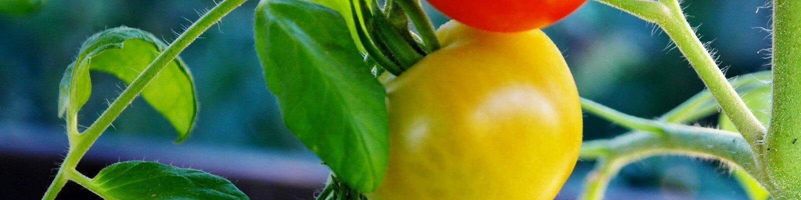 tomaten z chten verbesserte tomatensorten dank f1 z chtung. Black Bedroom Furniture Sets. Home Design Ideas
