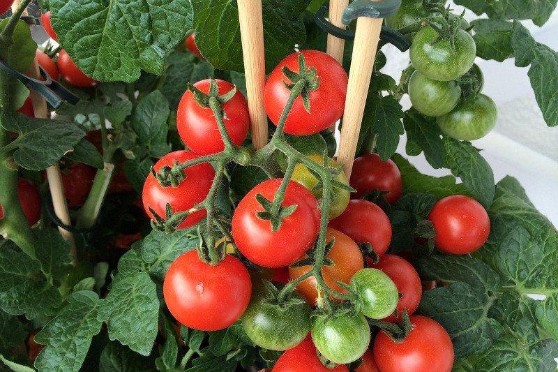 Tomatenpflanze mit Rispen