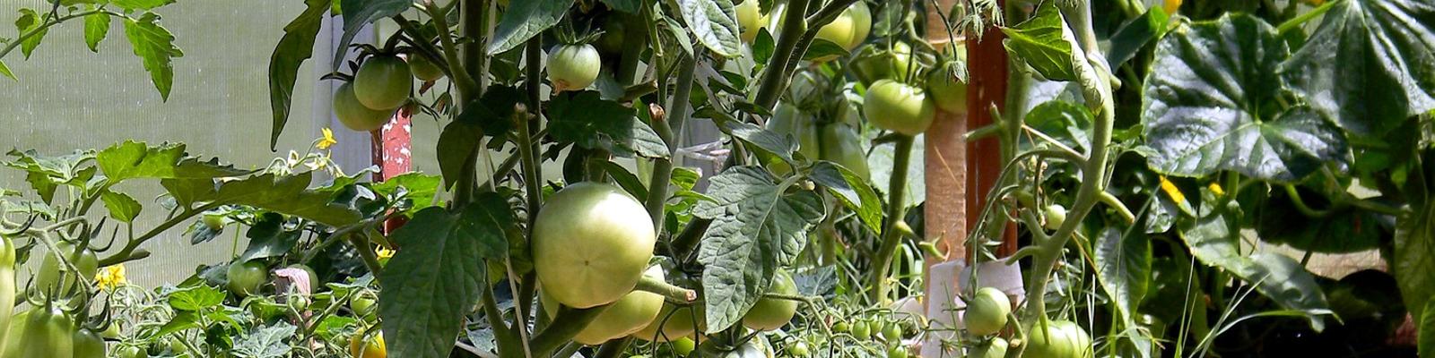 Tomaten anbauen im Gewächshaus