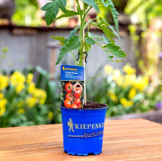 Tomatenpflanzen von Kiepenkerl