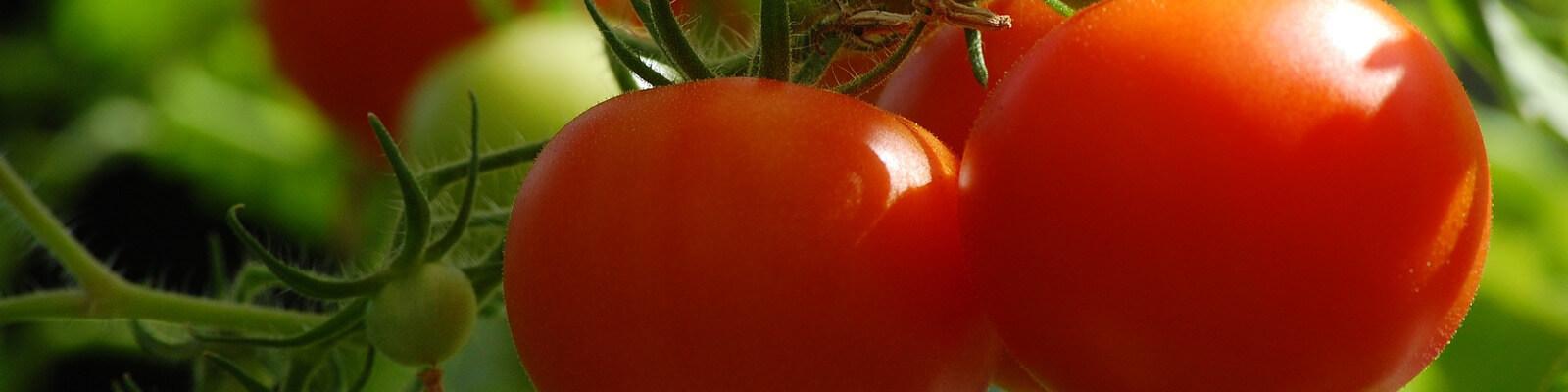 Tomatensamen ausäen