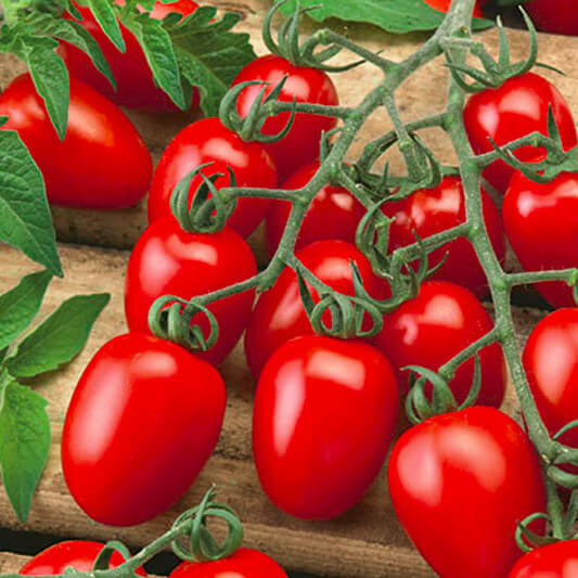 Tomate ''Dolcetto''