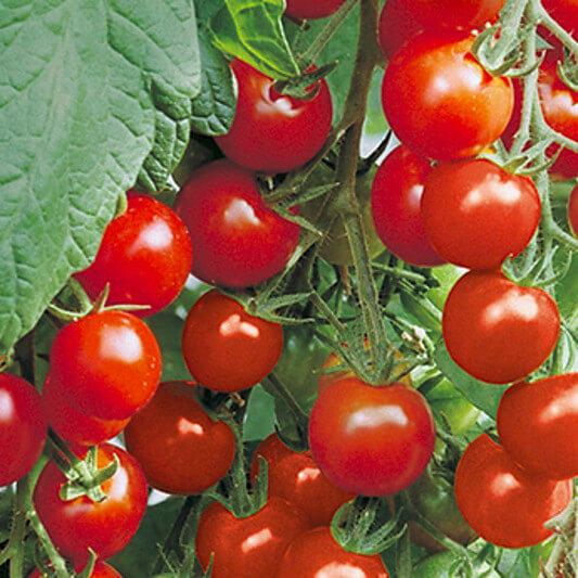 Tomate ''Gourmelito''