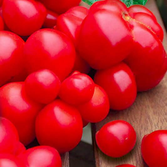 Tomate 'Voyage'