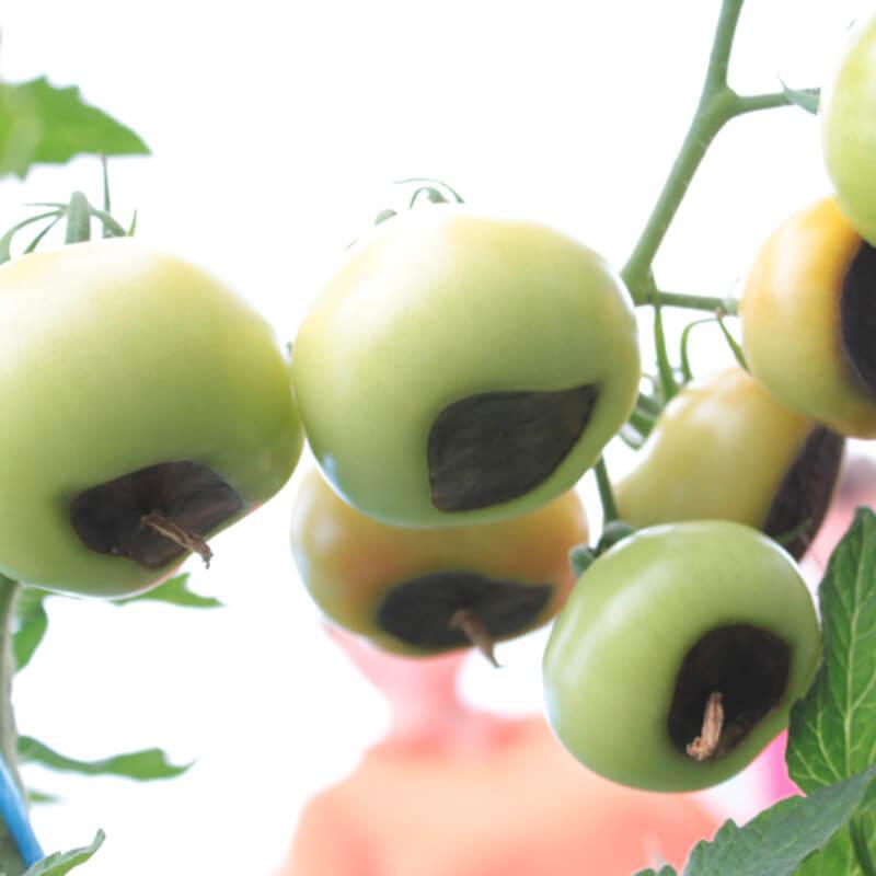 Krankheiten und Schädlinge bei Tomaten