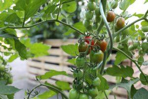 Tomaten sind Nachtschattengewächse