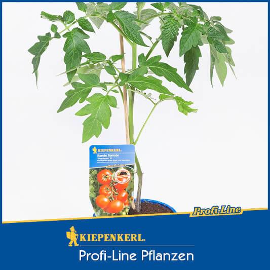 Freiland-Tomate 'Phantasia' (Jungpflanze)